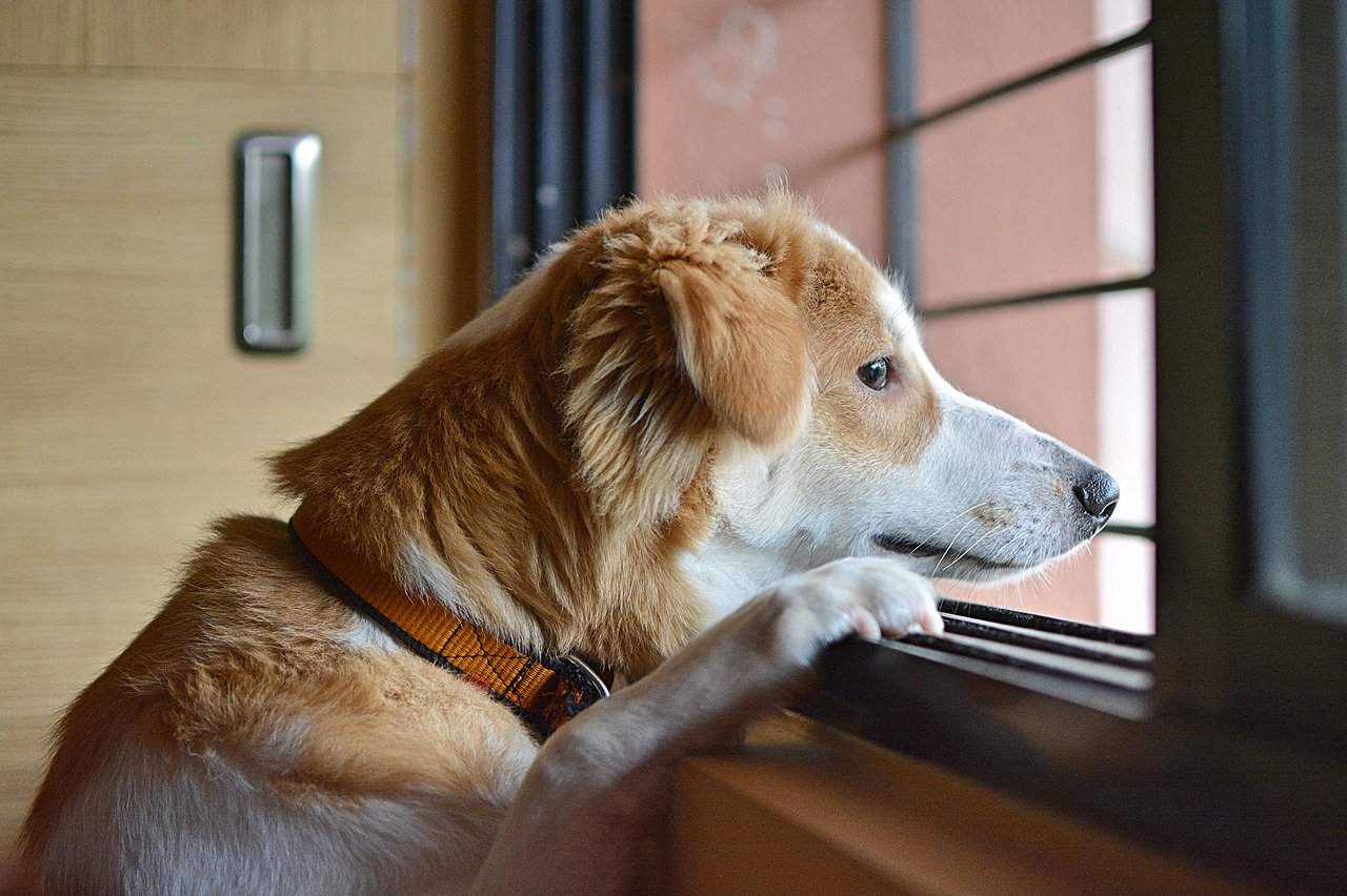A dog looks sadly out of a window