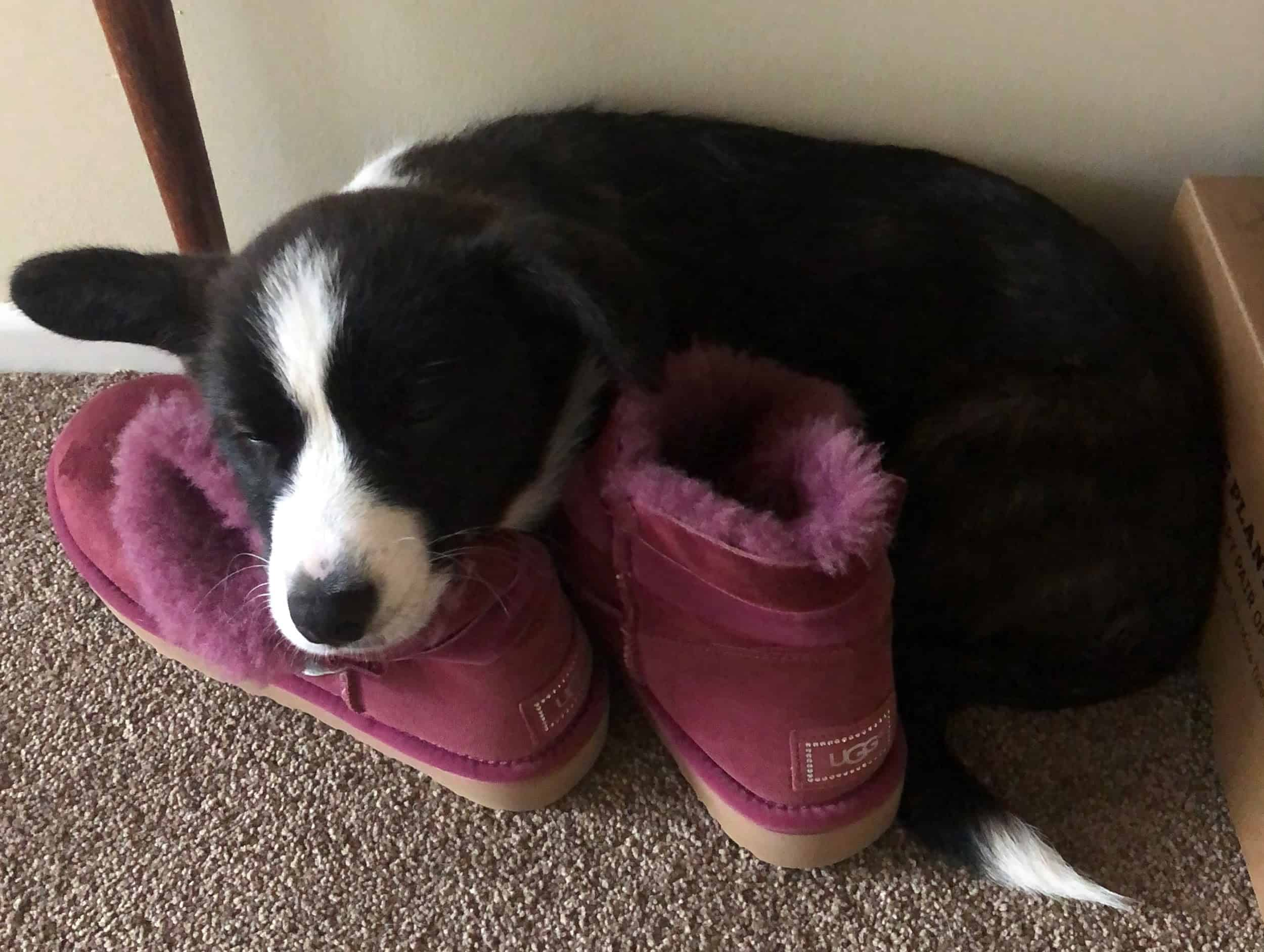 Comfortable-Ollie-have-a-doze-on-his-mums-shoes