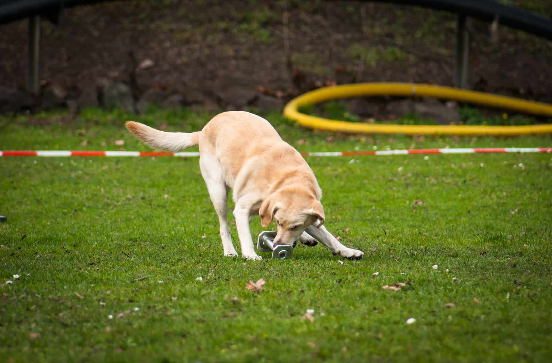 Labrador dog chewing on an metal object in a field of grass