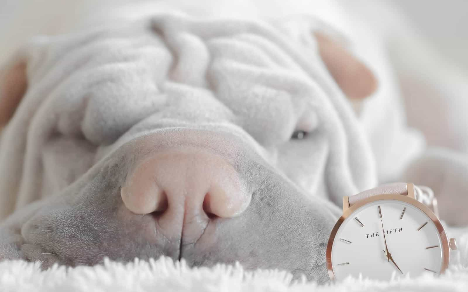 sharpei next to a watch