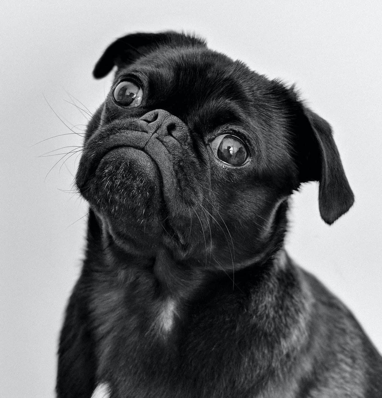 pug puppy looking sad with puppy eyes