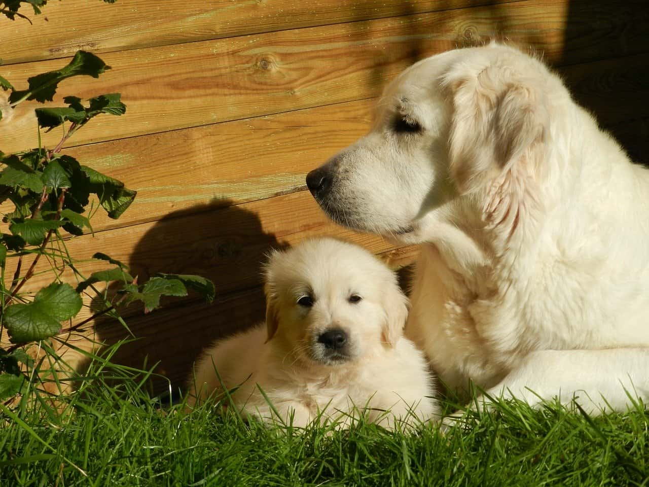 Golden retriever mother looking after its puppy